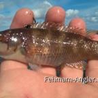 Kuckuckslippfisch von der Ostküste Fehmarns